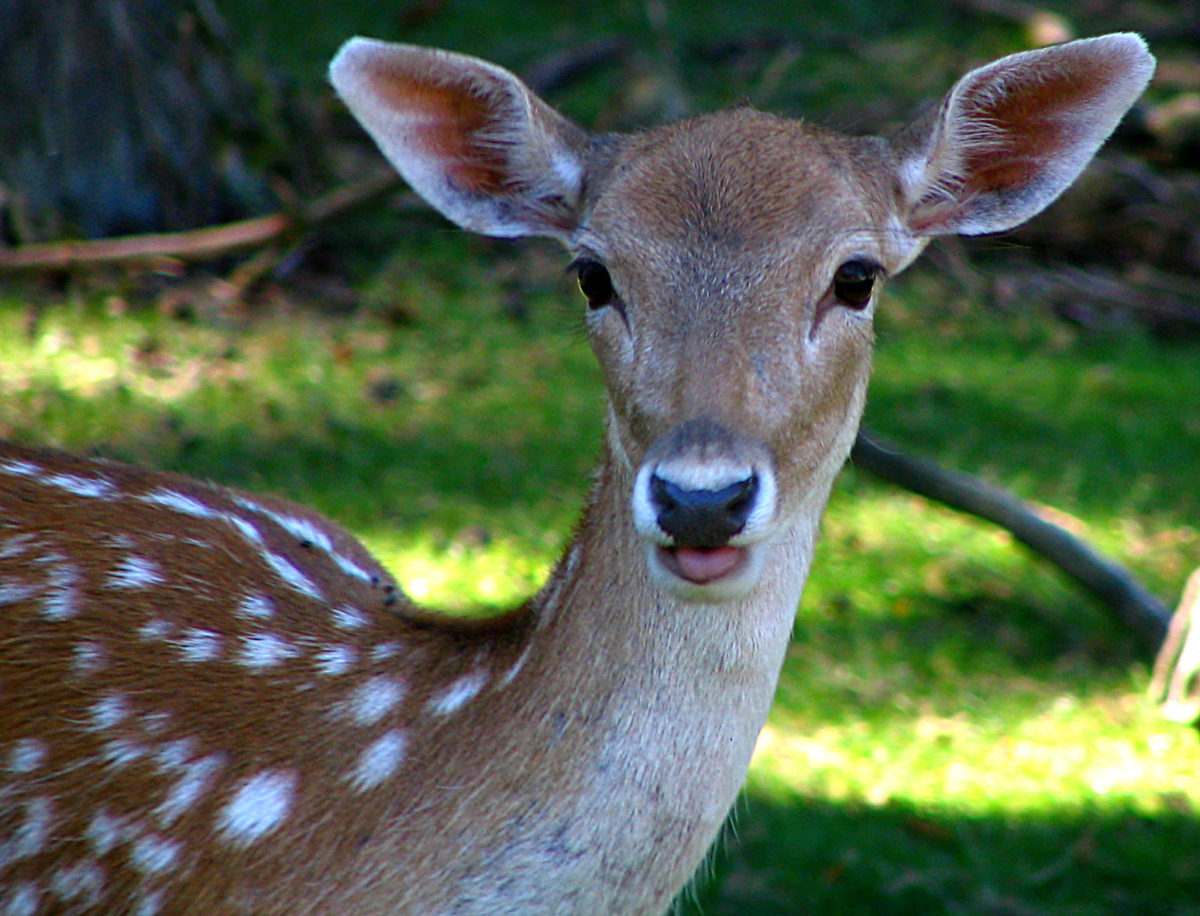 a young brown deer with white spots -  Living on the Monterey Peninsula