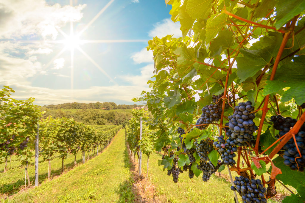 Sunshine over vineyard with red wine grapes in late summer, Napa Valley, CA